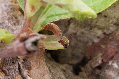 Coleophora serratella - constructing spring case