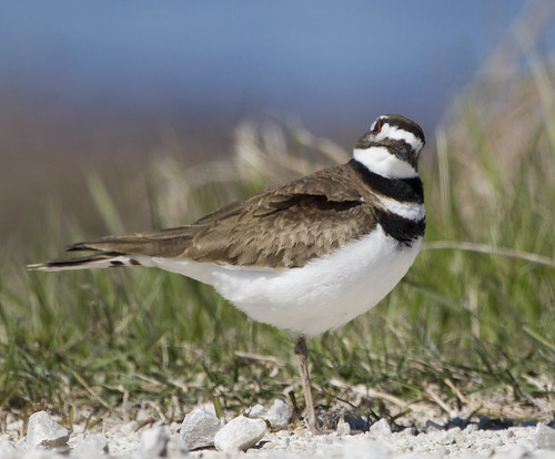 Killdeer by Ricky L. Jones Photography