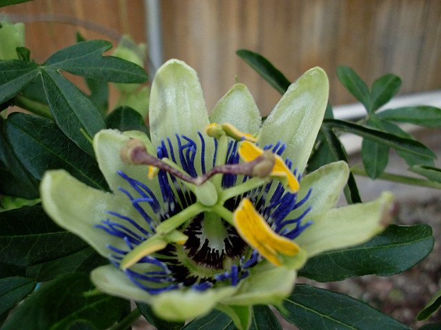 First Passionflower Bloom