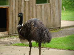 emu, animal, zoo, ostrich, flightless bird, fauna, casuariiformes, beak, bird, ratite, wildlife,