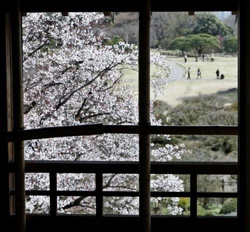 japan garden sakura cherryblossoms mito hanami kairakuen