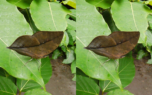 Kallima inachus, stereo parallel view