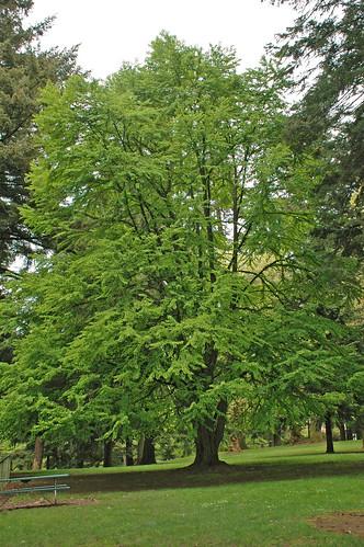 Katsura Heritage Tree in Laurelhurst Park