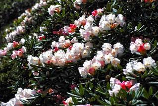 高海拔的玉山杜鵑發展出適應之道,就是匍匐前進,呈現灌木叢,葉片捲曲,耐風耐雪。(圖片來源:雪霸處)
