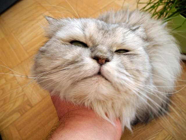 Кот ручной домашний