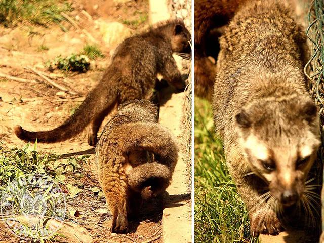 Himalayan Civet
