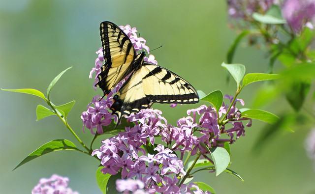 Lilacs and butterflies...two of my favorite things!