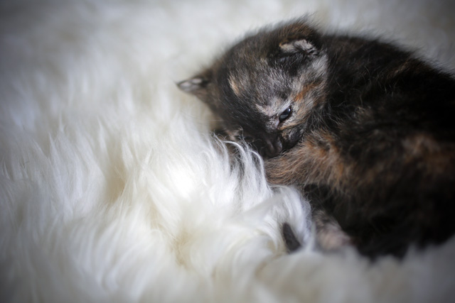 2 week old tortoiseshell kitten | rescue pet photography