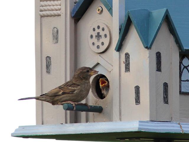 House Sparrow 20120517