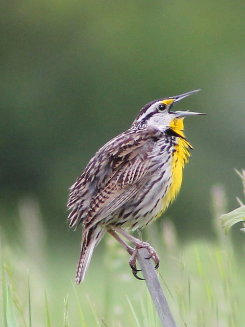 Eastern Meadowlark 20120521