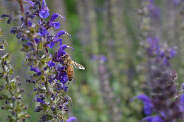 honey bee on agastache flickr photo sharing