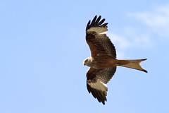 animal(1.0), hawk(1.0), bird of prey(1.0), eagle(1.0), wing(1.0), vulture(1.0), fauna(1.0), buzzard(1.0), bald eagle(1.0), accipitriformes(1.0), kite(1.0), beak(1.0), bird(1.0), flight(1.0), wildlife(1.0),