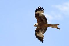 animal(1.0), hawk(1.0), bird of prey(1.0), eagle(1.0), wing(1.0), vulture(1.0), fauna(1.0), buzzard(1.0), bald eagle(1.0), accipitriformes(1.0), kite(1.0), beak(1.0), bird(1.0), flight(1.0), wildlife(1.0),