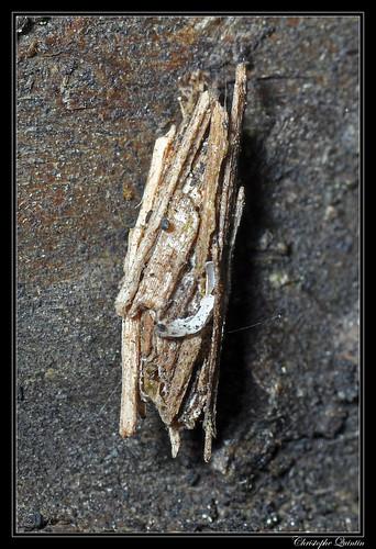 Fourreau de Psychidae (Psyche casta)