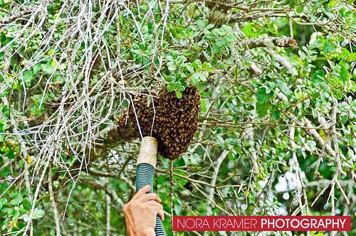 Bee Removal DSC_3698