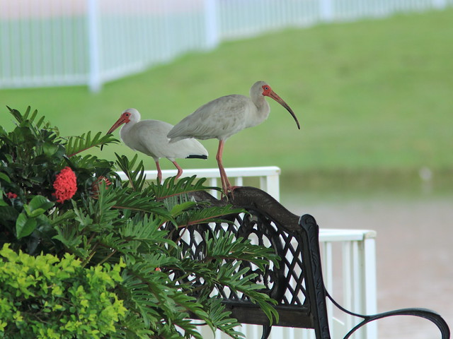 White Ibises next door 20120608