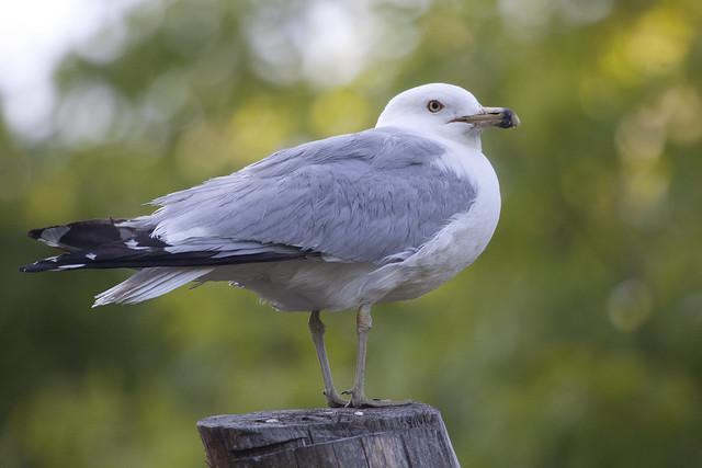 treetopseagull2