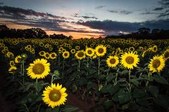 Sundown Over the Sunflowers