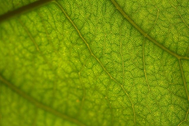 Syzygium bamagense DSC_0319 (4)