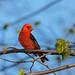 Scarlet Tanager by Islander_16