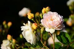 gelb weiße Rosen