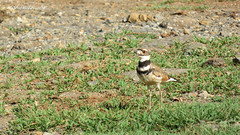 Kildeer (Charadrius vociferus) in Vinales