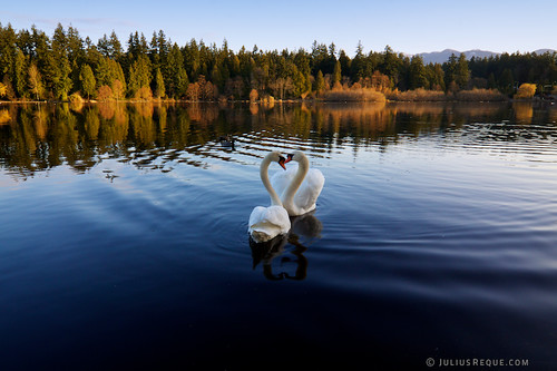 travel canada reflection vancouver sunrise bc heart britishcolumbia tokina swans ripples lostlagoon muteswans 1116 canon50d juliusrequecom