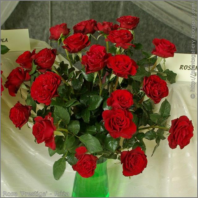 Rosa 'Prestige' - Róża 'Prestige'