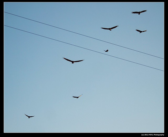 Soaring Turkey Vultures (Cathartes aura)