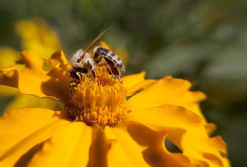 Bee - yellow flower