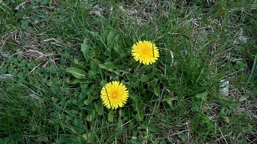 Dandelions Waiting to Be Picked