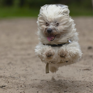 Flying Hollywood [Havanese dog]
