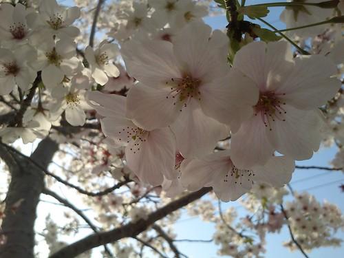 【S51SE】桜
