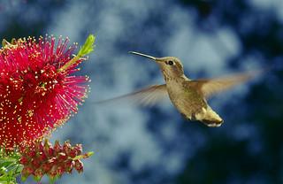 Hummingbird, SLO Botanical Garden