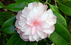 camellia, flower, plant, flora, camellia japonica, theaceae, pink, petal,