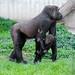 Gorilla N'Gambe und Kwame by ohobbyde