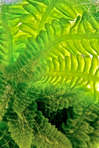 Young Fern (EXPLORED) by Broot - Thanks for 150,000 views!