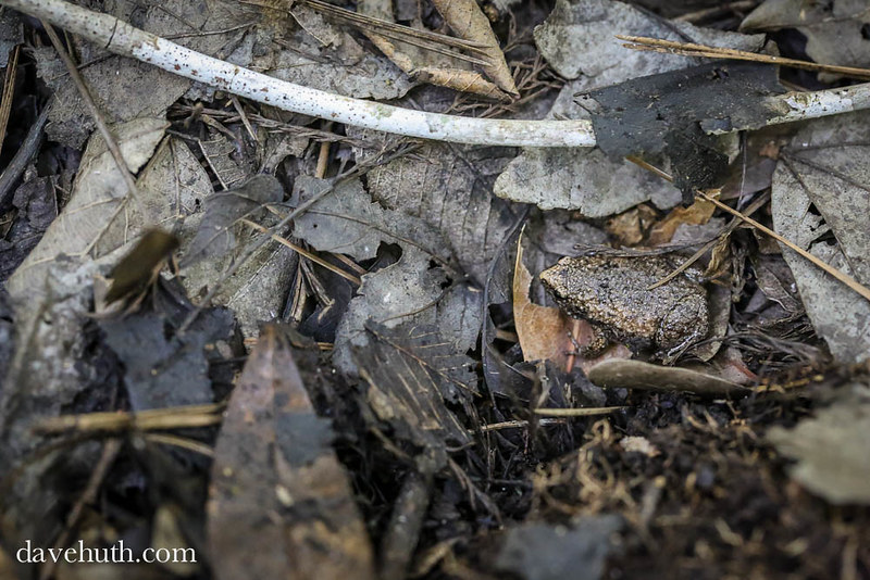 Eastern Narrowmouth Toad (Gastrophryne carolinensis) -camouflaged
