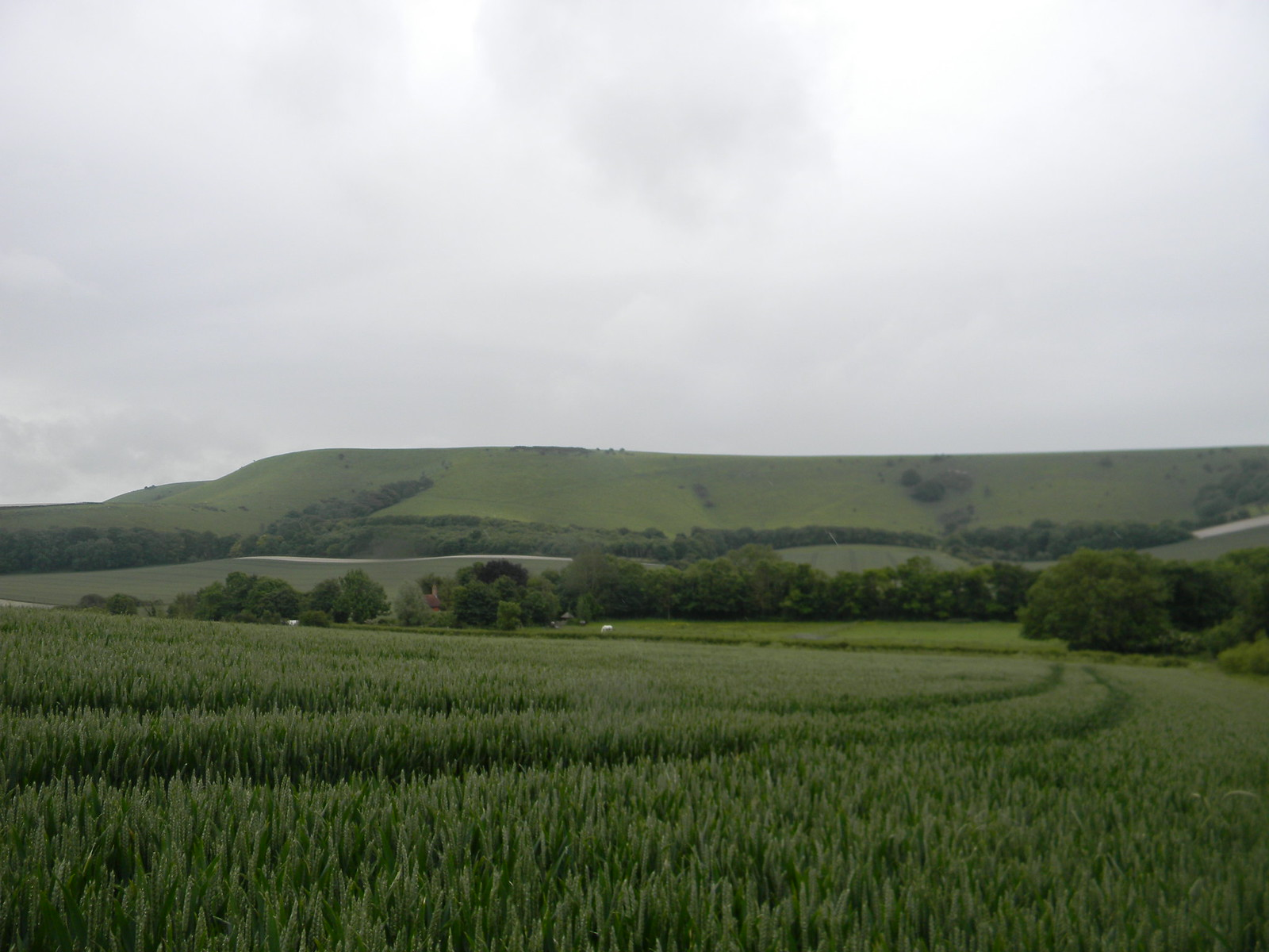 Wheat against the downs Lewes to Berwick