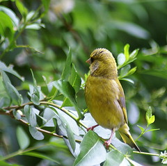 Verdier - Greenfinch -  Au carré - Square