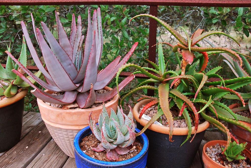 Aloe capitata, A. peglerae, A. cameronii
