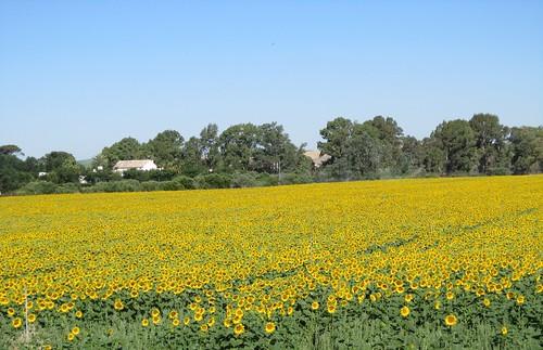 ひまわり畑(アンダルシア地方。ロンダ~セビリアに行く途中。)2012.6.6 by Poran111