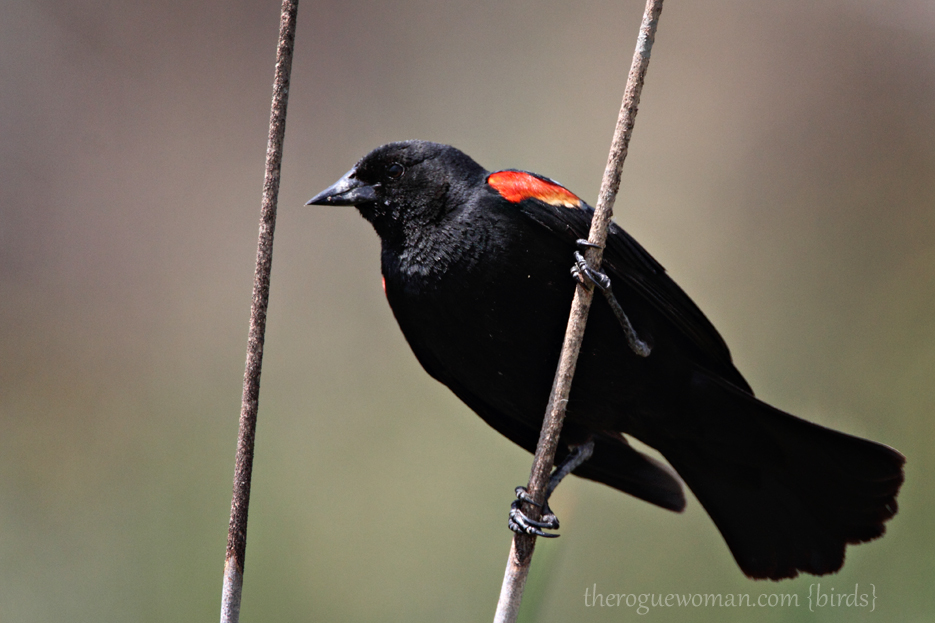 050412_sanjoc_10_redwingedBlackbird