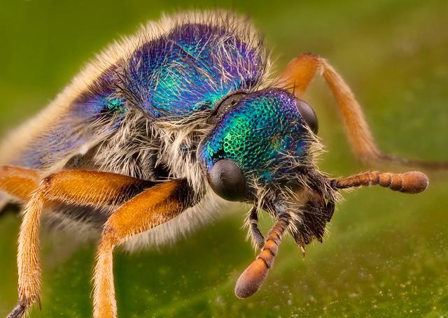 beetle-blue