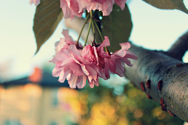 """What a strange thing! to be alive beneath cherry blossoms."" ~ Kobayashi Issa"