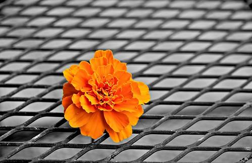 macro closeup grid gold dof bokeh marigold flowercloseup macroflower coth supershot glastonburyct macroflowerlovers pjddigipic