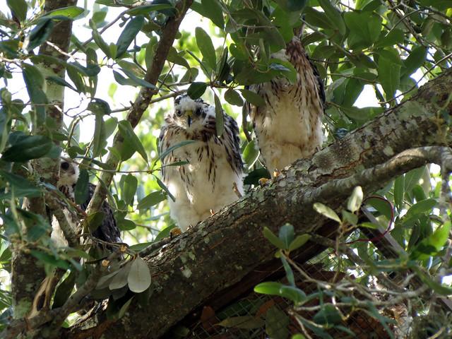 four Cooper's Hawk babies