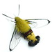 Small photo of Pellucid hawk moth
