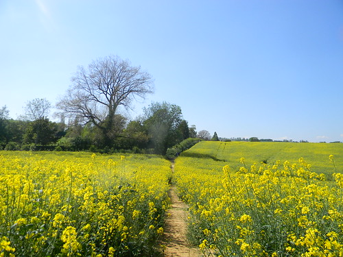 Rapefield with hedge