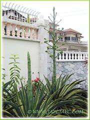 Flowering Agave desmettiana 'Variegata' (Dwarf Variegated Agave, Variegated Smooth Agave/Century Plant) - Jan 20 2012